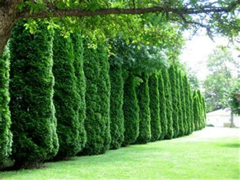 best trees for coverage trees or bushes for privacy fence who want a living privacy fence that provides year round