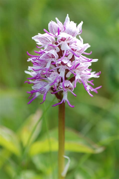 Monkey Orchid (Orchis simia) | Dr M Goes Wild