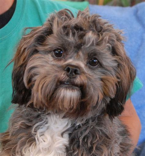 lhasa apso shih tzu mix shedding pin by debbie cbell on tips on styling dogs