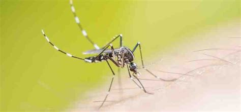 what deters mosquitoes garden plants that can help deter mosquitoes debugged