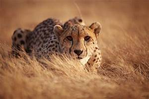Wild Cheetahs Are Dangerously Close To Extinction  U2013 But We