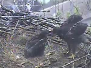 Bald eagles eat a cat for dinner on live webcam