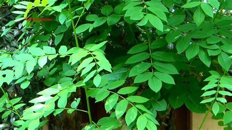 gliricidia sepium quickstick plant youtube