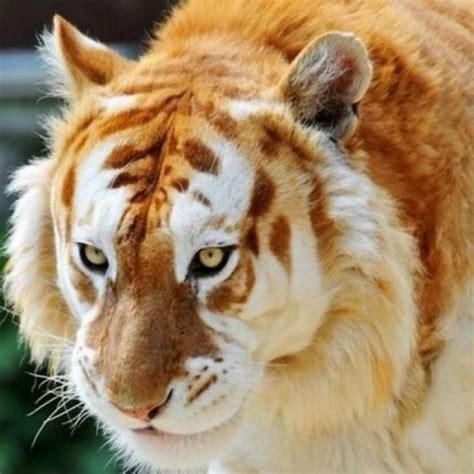 Rare Tiger Tigers Pinterest Animal