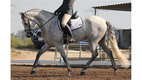 andalusian gelding imported incredible pre