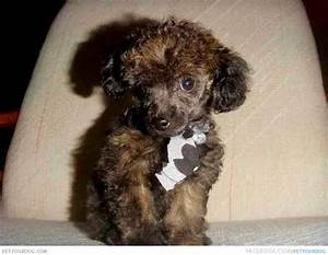 Teacup Poodle | Dog Pictures & Videos - Funny, Cute, Wacky ...