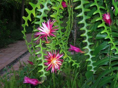 tanaman hoya tanaman hias unik nan cantik untuk memperindah rumah anda