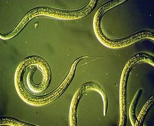 "Nematodes are from the phylum Nematoda meaning ""thread ..."