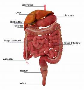 Jejunum's Function in the Small Intestine and Digestive ...
