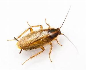 Wie Sehen Kakerlaken Aus : different types of cockroaches found in australian homes emblem ~ Watch28wear.com Haus und Dekorationen