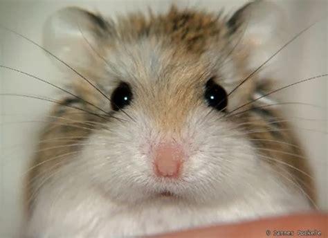 roborovski hamster roborovski hamster breeding roborovski hamster part 1 veterinary online