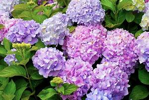 How to Care for Hydrangeas Real Simple