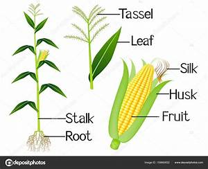 The Illustration Shows Part Of The Corn Plants   U2014 Stock