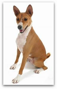 Brown And White Dog Breeds | www.pixshark.com - Images ...