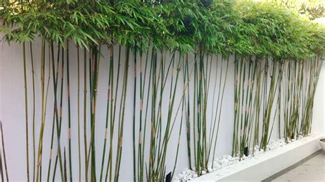 how to grow bamboo at home top 28 growing bamboo at home 42 best images about lucky bamboo on pinterest feng shui yes
