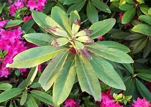 Rhododendron Braune Blätter : rhododendron rhododendron krankheiten pilzbefall und ~ Lizthompson.info Haus und Dekorationen