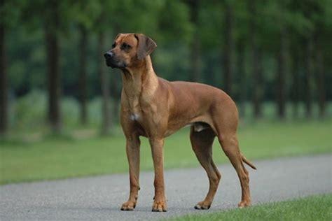 rhodesian ridgeback puppies  sale  reputable dog