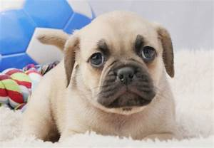 Designer Procedure Puggle Puppies For Sale Chevromist Kennels