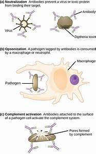 12 3 Adaptive Immunity  U2013 Concepts Of Biology