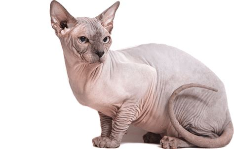 Arizona Sphynx Cat Breeder And Adoption Beautiful