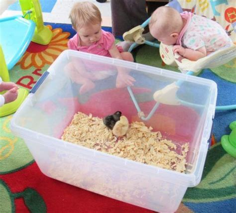 cadence academy preschool harbison in columbia sc 452 | infants watching chicks at cadence academy preschool harbison columbia sc 498x450