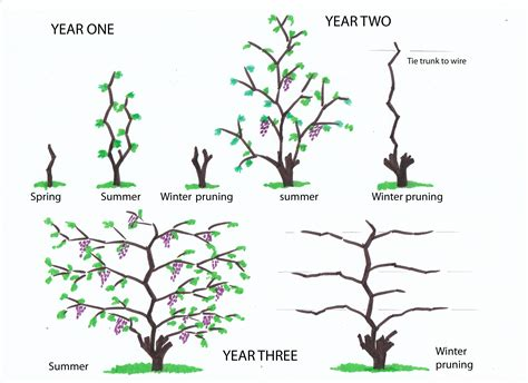grape vines pruning when to do it and how pruning urban wine grower