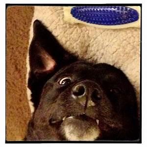 Penny,my crazy Blue Heeler Black Lab mix. | Puppy Love ...