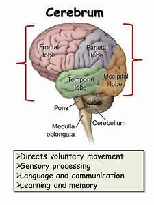 Nervous System - Presentation Biology