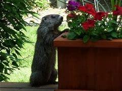 Image result for groundhog eating melon