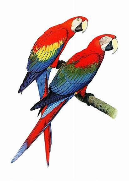 Parrot Clipart Clip Bird Macaw Cliparts Parrots