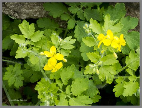 weeds with yellow flowers yellow flowers weed