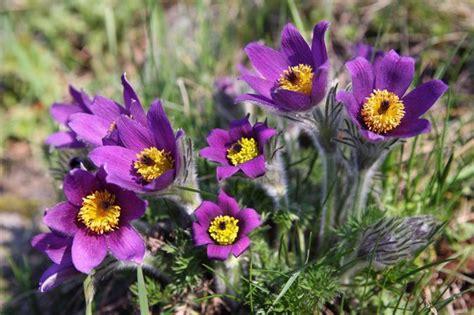 anémone pulsatilla pulsatilla homeopathic remedies livestrong