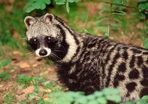 African Civet - Pictures, Facts, Lifespan, Habitat