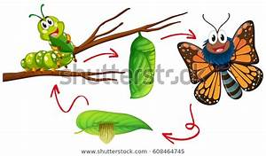 Butterfly Life Cycle Diagram Illustration Stock Vector