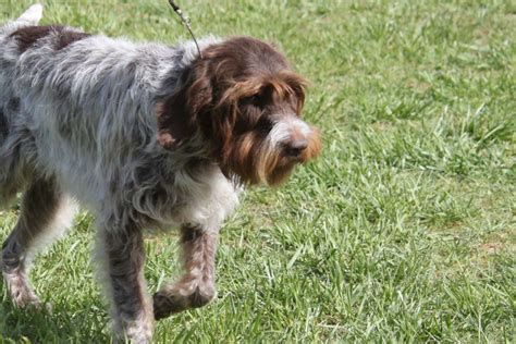 wirehaired pointing griffon breed information wirehaired pointing griffon images wirehaired