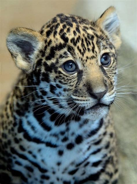 san diego zoo s jaguar cub needs a name baby animals
