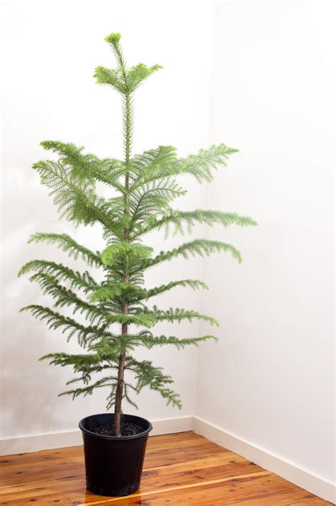 photo of undecorated natural norfolk pine christmas tree