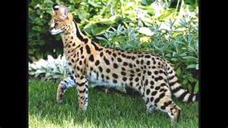 serval cats serval cat images