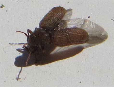anobiidae est ce bien une petite vrillette anobium punctatum le monde des insectes