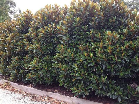 magnolia tree when to plant tree little gem magnolia hedge decoredo