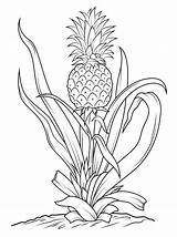 Pineapple Coloring Tree Drawing Printable Fruits Pineapples Fruit Vegetables Template Line Canvas Paper sketch template