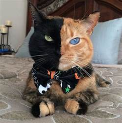 black and orange cat venus the black and orange tabby becomes a and