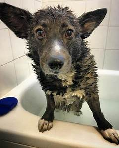 Corgipoo  All You Need To Know About The Cute Corgi Poodle