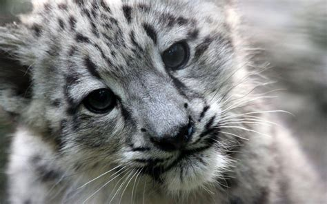 Snow Animal Wallpaper - snow leopard wallpapers wallpaper cave