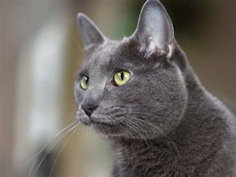 Humane Society Reduces Adoption Fees For Grey Cats