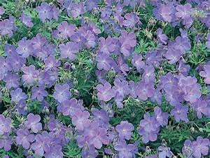 Couvre Sol Vivace : g ranium vivace plantes couvre sol taille roseraie guillot ~ Premium-room.com Idées de Décoration