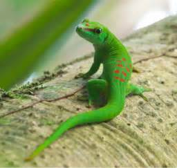 What Is A Gecko | Wall Of Geckos