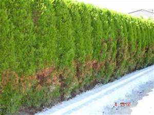Thuja Hecke Innen Braun : lebensbaum orientalischer lebensbaum 39 smaragd 39 5 stk h ca 80 cm ~ Buech-reservation.com Haus und Dekorationen