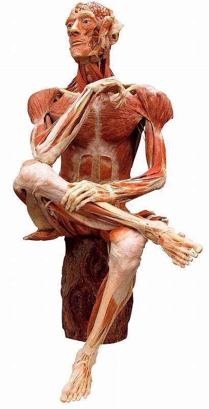 Plastination Museum Human Gunther Hagens Worlds Bodies