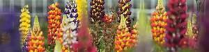 Lang Blühende Pflanzen : prachtstauden f r bl tenspektakel im garten dehner ~ Eleganceandgraceweddings.com Haus und Dekorationen